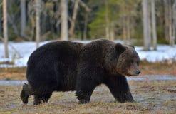 棕熊熊属类arctos在春天森林里 库存照片