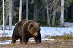 棕熊熊属类arctos在春天森林里 库存图片