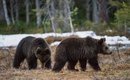 棕熊熊属类arctos Cub  库存图片