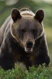棕熊熊属类arctos在森林里 免版税库存照片