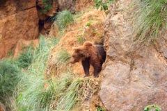 棕熊熊属类arctos 库存图片
