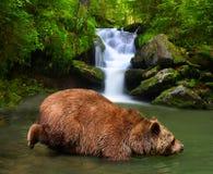 棕熊熊属类arctos 免版税库存照片