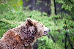 棕熊的边 免版税库存照片