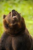棕熊纵向 与开放枪口的危险动物 棕熊面孔画象  与开放枪口的熊有大牙的 被恫吓的 库存图片
