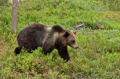 棕熊走 免版税库存照片