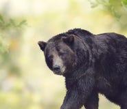 棕熊走 免版税图库摄影
