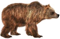 棕熊野生生物动物,被隔绝,自然 免版税库存图片