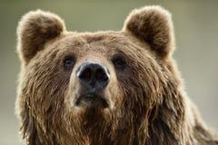 棕熊面孔 库存图片