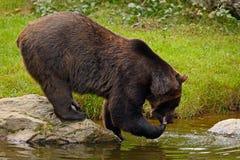 棕熊饮用水 棕熊,熊属类arctos,坐石头,在水池附近 眉头熊在水中 大褐色 免版税库存照片