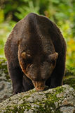 棕熊,熊属类arctos,在动物森林面孔画象的树干后hideen与开放枪口的有大牙的 _ 图库摄影