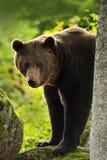 棕熊,熊属类arctos,在棕熊森林面孔画象的树干后hideen  与开放枪口的熊有大的 库存照片