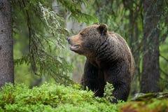 棕熊,熊属类arctos,在深绿欧洲森林里 库存照片