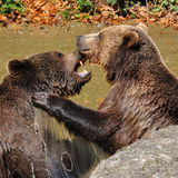 棕熊,熊属类arctos 免版税库存图片