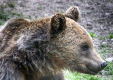 棕熊,特兰西瓦尼亚,罗马尼亚 库存照片