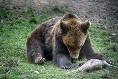 棕熊,特兰西瓦尼亚,罗马尼亚 免版税图库摄影