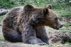 棕熊,特兰西瓦尼亚,罗马尼亚 图库摄影