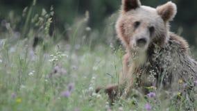 棕熊,特兰西瓦尼亚,罗马尼亚 股票录像