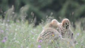 棕熊,特兰西瓦尼亚,罗马尼亚 影视素材