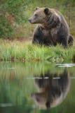棕熊,芬兰 免版税库存照片