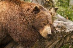 棕熊,阿拉斯加 免版税库存照片