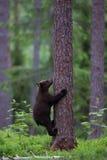 棕熊崽上升的树在芬兰森林里 免版税库存图片