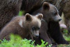 棕熊崽在芬兰森林里 免版税库存照片