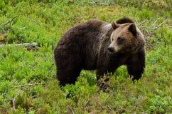 棕熊(熊属类arctos) 免版税库存图片