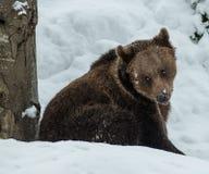 棕熊(熊属类arctos) 图库摄影