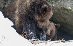 棕熊(熊属类arctos) 库存照片