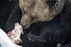 棕熊(熊属类arctos) 库存图片