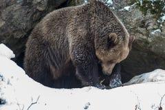 棕熊(熊属类arctos) 免版税图库摄影