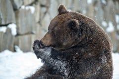 棕熊(熊属类arctos) 免版税库存照片