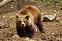 棕熊-熊属类arctos - Medved Hnedy 免版税图库摄影