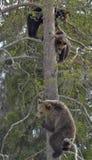 棕熊(熊属类arctos)与在杉树的熊崽 免版税图库摄影