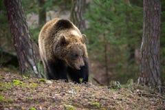 棕熊(熊属类arctos)在冬天森林里 免版税库存图片