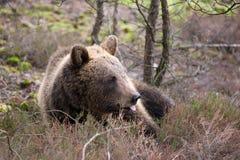 棕熊(熊属类arctos)在冬天森林里 库存图片