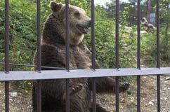 棕熊(熊属类arctos)在动物园里乞求为从观众的纤巧 徒步旅行队公园在游览城市Gelendzhik 库存照片