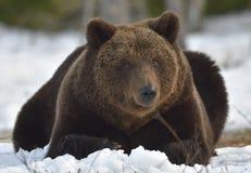 棕熊(熊属类arctos)在春天森林里 免版税库存图片