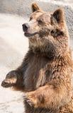 棕熊(熊属类arctos)是在最大和多数powe中 免版税库存照片