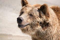 棕熊(熊属类arctos)是在最大和多数powe中 免版税图库摄影