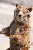 棕熊(熊属类arctos)是在最大和多数powe中 库存照片