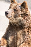 棕熊(熊属类arctos)是在最大和多数powe中 免版税库存图片