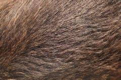 棕熊(熊属类arctos)毛皮纹理 库存图片
