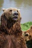 棕熊-熊属类arctos 库存照片