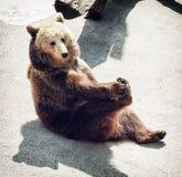 棕熊(熊属类arctos arctos)坐地面和舔 库存图片