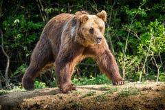 棕熊& x28; 熊属类arctos& x29; 免版税库存照片