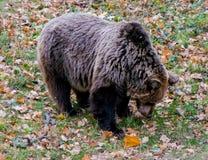 棕熊 秋天 免版税库存图片