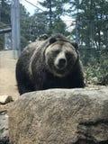 棕熊 图库摄影
