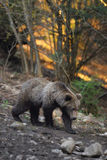 棕熊 免版税库存图片
