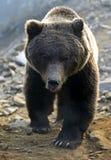 棕熊 库存图片